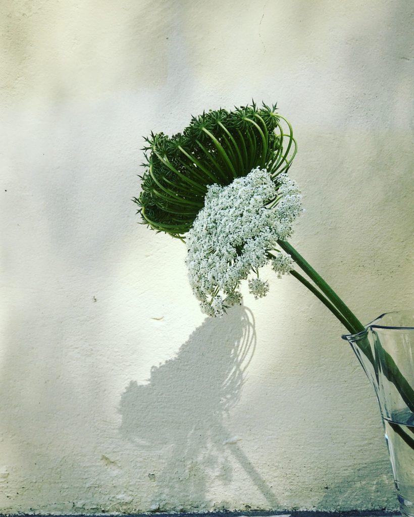 Greek cow parsley