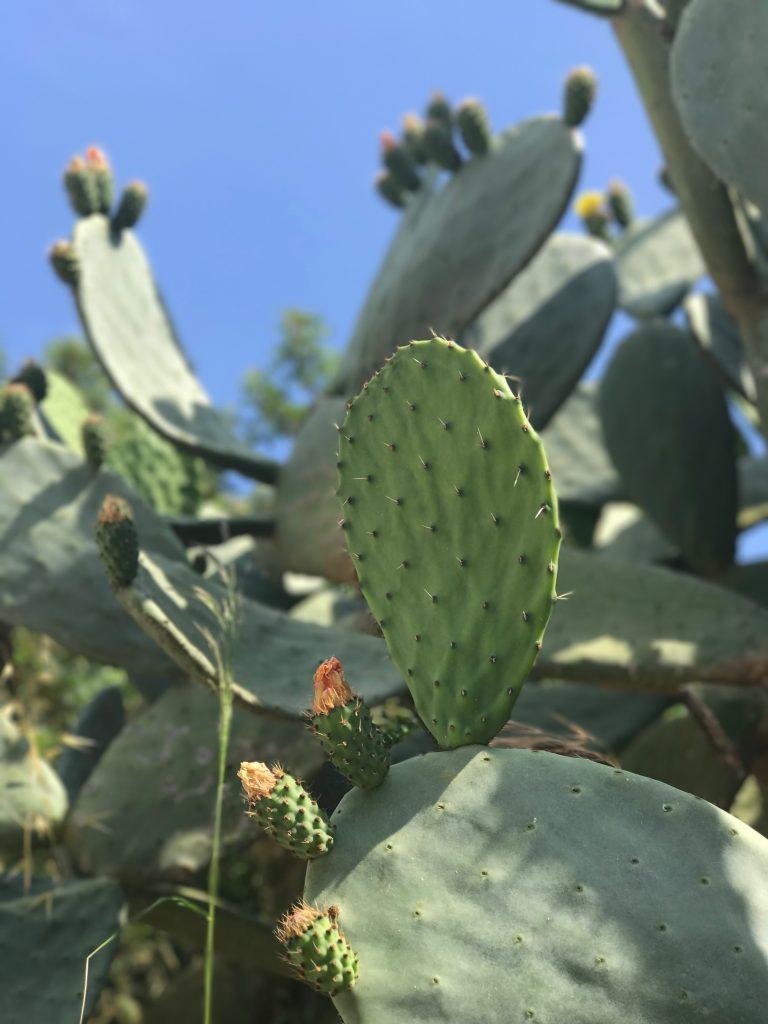 Cacti in bloom